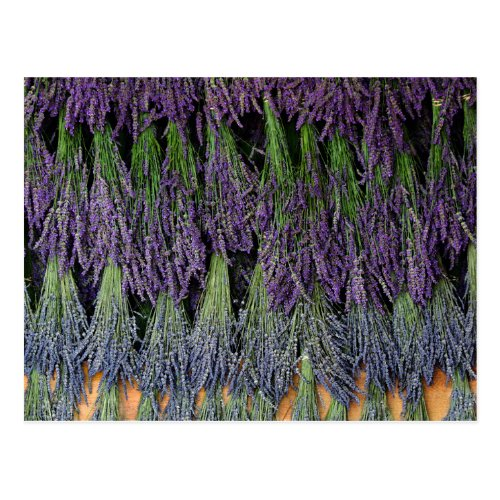 Lavender Bunches on Drying Rack Postcard
