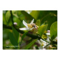 Lemon Blossom Bee (2) Poster