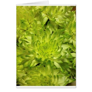 Lime Chrysanthemums