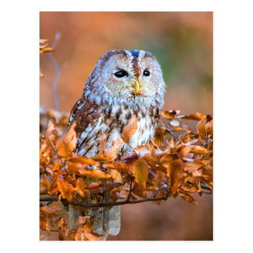 Little Owl Postcard