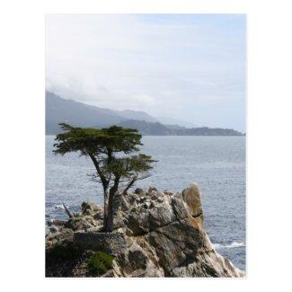 Lone Pine Tree Postcard