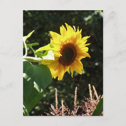 maternal sunflower postcard