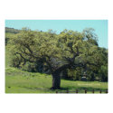 Mighty Live Oak print