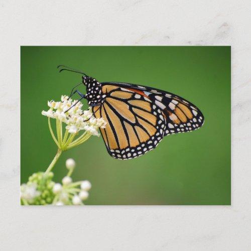 Monarch Butterfly on White Swamp Milkweed Postcard postcard