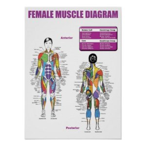 Muscle Diagram  Gym Poster   Zazzle