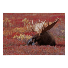 N.A., USA, Alaska, Denali National Park, Bull Print