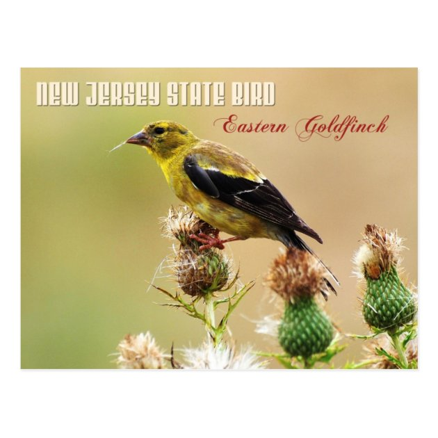 New Jersey State Bird Eastern Goldfinch Postcard