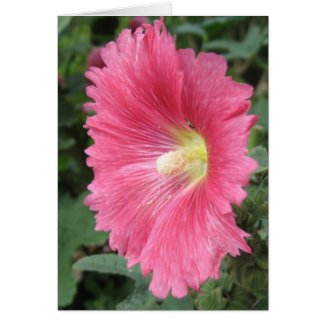Old-Fashioned Hollyhock