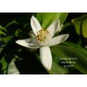 Orange Blossom - California Gardens Card zazzle_card
