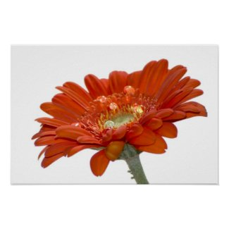 Orange Daisy Gerbra Flower Print print