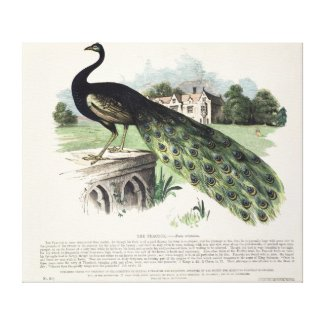 Peacock Stretched Canvas Prints