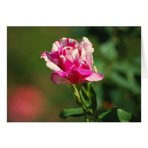 Peppermint Stripe Rose Card card