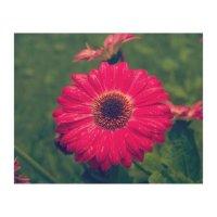 Pink Gerbera Daisy in Bloom Wood Wall Art | Zazzle