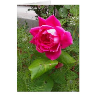 Pink Rose Any Occasion Card