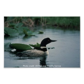 Poster / Common Loon on Water print