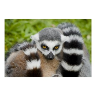 Print - Cute Lemur Stripey Tail print
