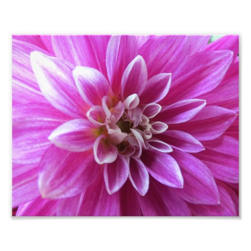 Purple Chrysanthemum Flower Photo Print