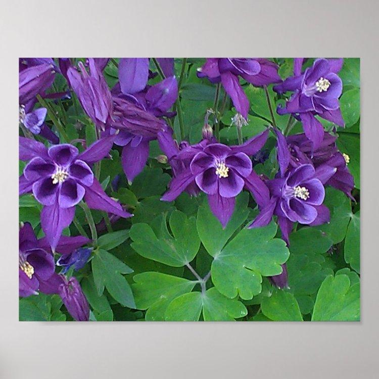 Purple Columbines -11 x 8.5 Poster