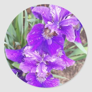 Purple Iris with Water Droplets Stickers sticker