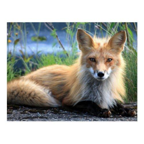 Red fox beautiful photo portrait postcard