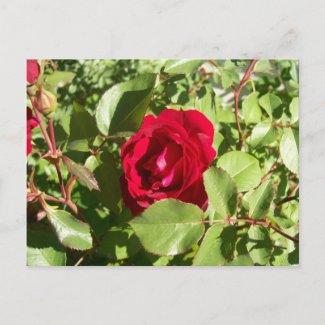 Red Rose Postcard postcard