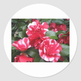 Red & White Striped Roses Sticker