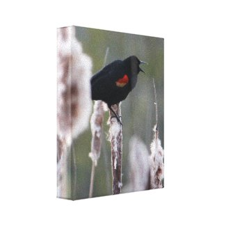 Red-winged Blackbird (Agelaius phoeniceus) Gallery Wrapped Canvas