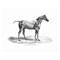 Horse Anatomy Diagram Muscles Gibson Central Air Conditioner Wiring Retro Muscle Picture Postcard Zazzle Com