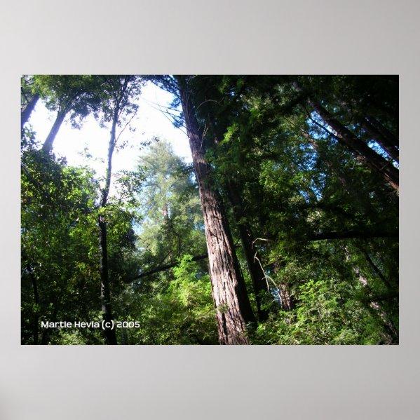 Santa Cruz Redwoods print