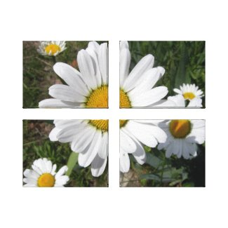 Shasta Daisy (Chrysanthemum maximum) Canvas Print