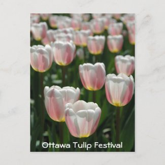 Silver pink tulips postcard