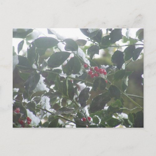 Snow Covered Holly postcard