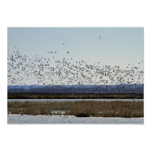 Snow Geese Taking off at Squaw Creek Refuge Poster