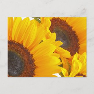 Sunflower Triplettes zazzle_postcard