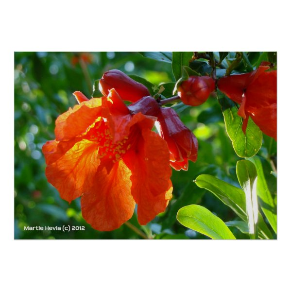 Sunlit Pomegranate Flower Posters
