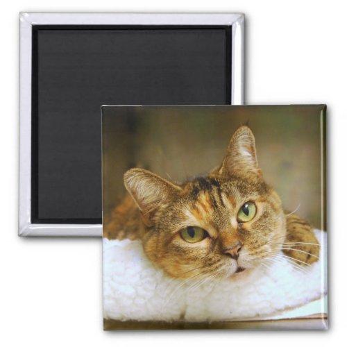 Sweet Tabby Cat Magnet magnet