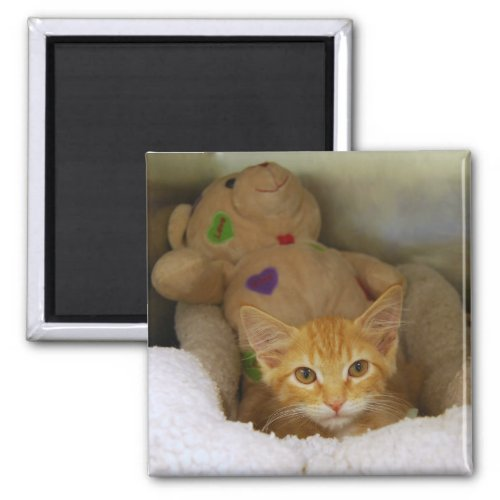 Tabby Kitten With Teddy Bear Magnet magnet