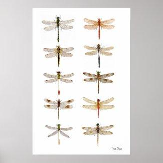 Ten Dragonfly Species Print