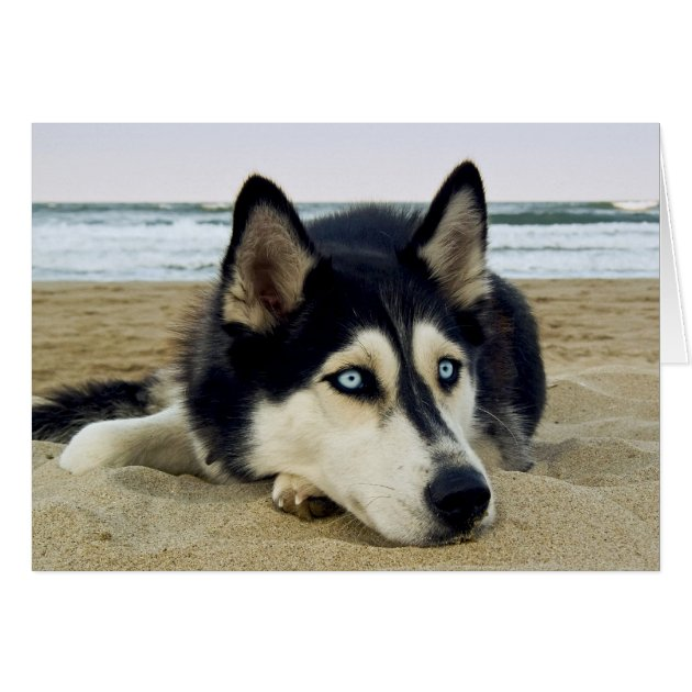 Thank You Siberian Husky On Beach Greeting Card Zazzle Com