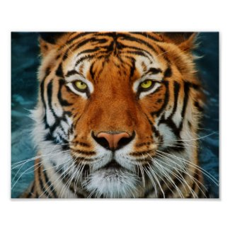 Tiger in Water Photograph Poster
