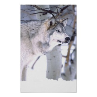 Timber Wolf, Canis lupus, Movie Animal Utah) Poster