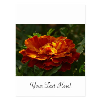 Turkish Marigold Postcard