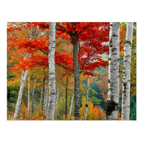 USA, Maine, Wyman Lake. Forest Of Birch Postcard