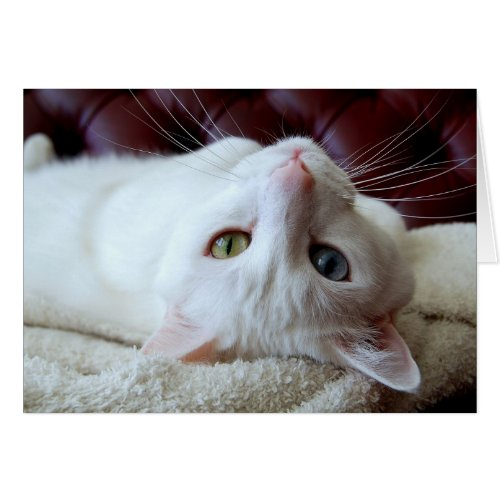 Valentine Turkish Angora Cat Odd Eyes Card