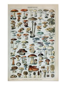 Vintage edible mushroom chart also zazzle rh