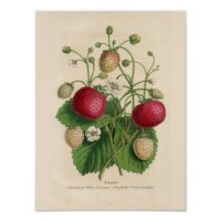 Vintage Strawberries Poster | Zazzle