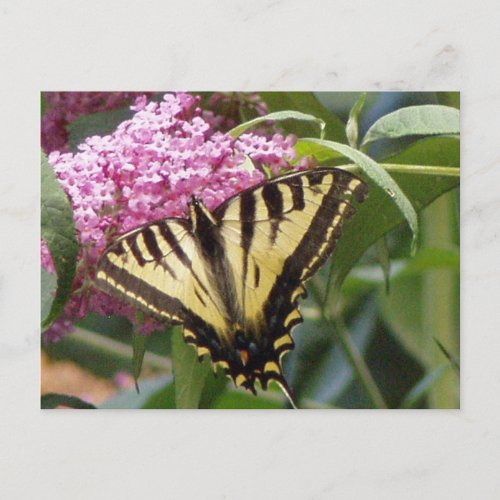 Western Tiger Swallowtail butterfly on pink lilacs postcard