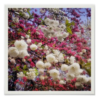White and pink spring blossom in Wales zazzle_print