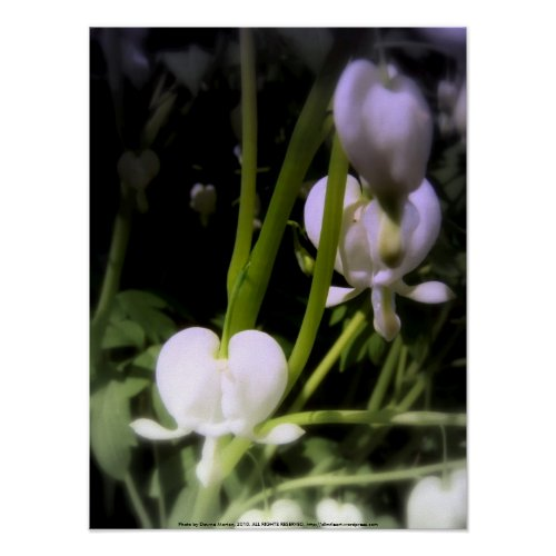 white bleeding heart macro, blue tint print