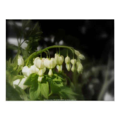 white bleeding hearts #2 print